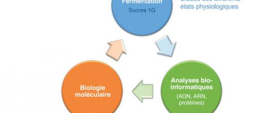 Optimization of a microorganism of interest for the bioproduction of isopropanol and n-butanol